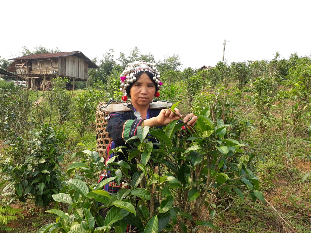 The Bokeo Tea cooperative: The ongoing fight for the futures of ethnic communities